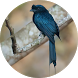 Drongo Bird Sounds by Chatree Bamrung