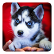 Siberian Husky Live Wallpaper by Dynamic Live Wallpapers