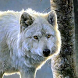 white wolf wallpapers by best wallpaper inc