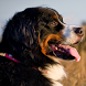 bernese mountain dog wallpaper by best wallpaper inc