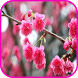 Top Cherry Blossom Wallpapers by aifzcc.studio