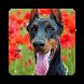 Doberman Pinscher Dog Wallpaper HD by Laylali