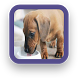 Dachshund Puppy Wallpaper by SGA Media