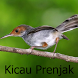 Kicau Prenjak Terbaru by Tidut app