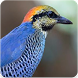 Blue Pitta Bird Sound : Blue Pitta Song by Nic and Chloe Studio
