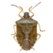 Stink Bug Scout by Bugwood