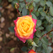 Rose Images by Smart Look