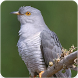 Common Cuckoo Bird Sound : Common Cuckoo Bird Song by Nic and Chloe Studio