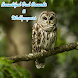 Owl Sound And Wallpaper