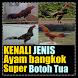 Kenali Jenis Ayam Bangkok SUPER by Padepokan Cirebon-Banten
