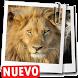 Imagenes de leones descargar fondos de pantalla by Appsamimanera