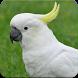 Cockatoo Sounds : Cockatoo Bird Singing