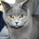 Russian Blue Cat Puzzle Game by mstyav