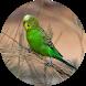 Budgerigar Bird Sounds