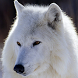 white wolf wallpapers by amazing live wallpaper llc