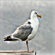 Seagull by APH International