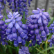 Japan:Flower_Muscari(JP221) by takemovies