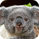 Koala Live Wallpaper by MimaWp