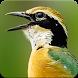 Indian Pitta Bird Sound : Indian Pitta Call