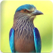 Indian Roller Sound : Indian Roller Call by Nic and Chloe Studio
