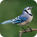 Blue Jay Bird Sounds by Funky App