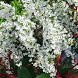 Japan:FlowerSpiraeaThunbergiii