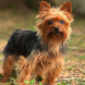 Yorkshire Terriers Jigsaw Game by fundogpuzzle