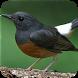Kicau burung murai batu betina by Majujayadut