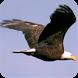 Eagle Live Wallpaper HD by Greakken