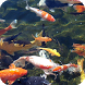 Koi Fish Pack 2 Live Wallpaper by WallpapersLove