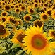 sunflower live wallpaper by motion interactive