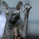 Cat Salute Live Wallpaper by velvladim