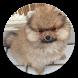 Pomeranian Dog Wallpaper HD by Laylali