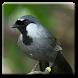 Aneka Kicau Burung Poksay by Apta Studio