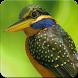 Rufous Collared Kingfisher Sound : Kingfisher Bird