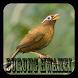 Kicau Burung Hwamei Offline by speed apps