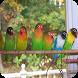 Kicau Lovebird Ngekek Nasional by Malia Danu