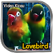 Video Aksi Lovebird - Kicau Burung
