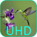 Hummingbirds 4K VideoWallpaper by Joseires