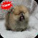 Pomeranian by Seaweedsoft