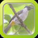 Masteran Burung Kutilang by Afnan Dev