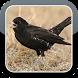 Black Lark Bird Sounds HQ by The Best App Inc