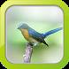 Masteran Burung Tledekan by Afnan Dev