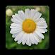Daisy Flower Wallpaper HD by Laylali