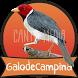 Canto de Galo de Campina by Canto Media