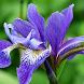Iris Flower Wallpaper by Qanje Rumbi