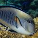 Red Sea Fish Live Wallpaper by solar trap studio
