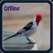 Canto de Galo de Campina offline by Yayane Apps