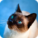 Siamese Cat Wallpaper by WallpapersCompany
