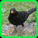 Canto passaro preto pele Offline by Suto App